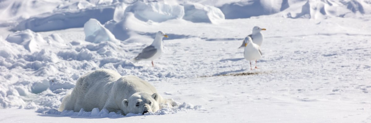 ijsbeer spitsbergen norge reiser.jpg