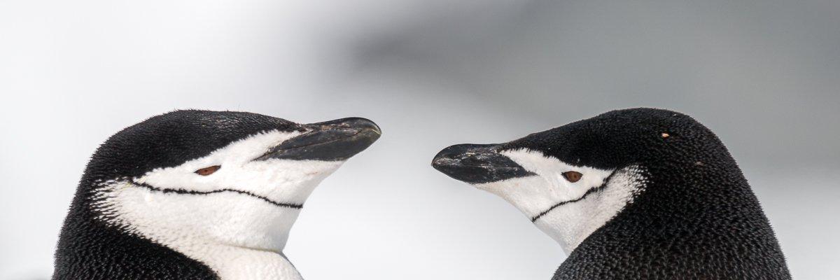 kinband pinguins antarctica norge reiser.jpg
