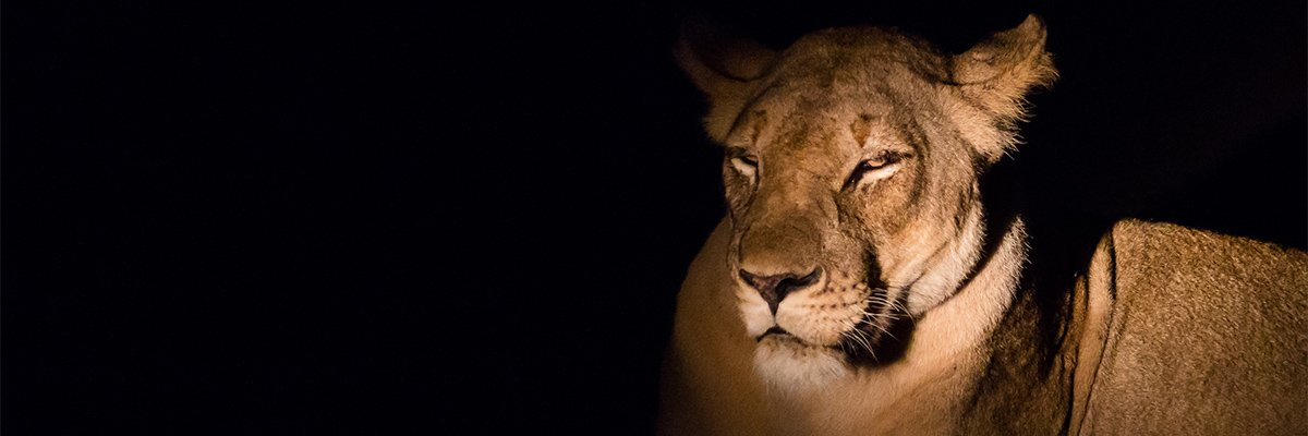 south-luangwa-zambia-leeuw-ramon-lucas-photography-suid-afrika-reise.jpg